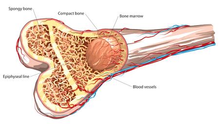 anatomía: estructura ósea a largo