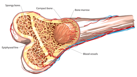 huesos humanos: estructura ósea a largo