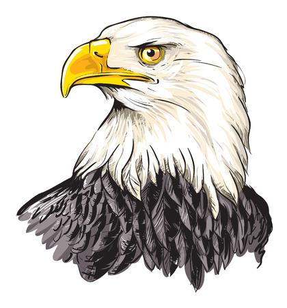 bald head: Bald eagle (Haliaeetus leucocephalus)