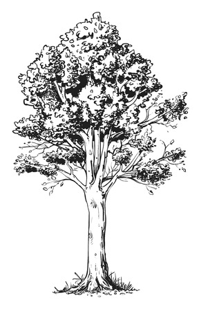 Line drawing beech tree.
