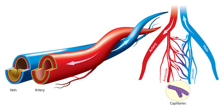 artery: Artery and vein