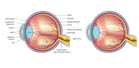 vitreous body: Human eye anatomy Illustration