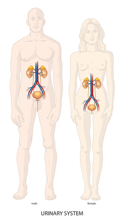 Human urinary system Illustration