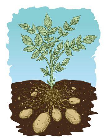 Potato roots Illusztráció
