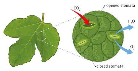 Leaf stoma