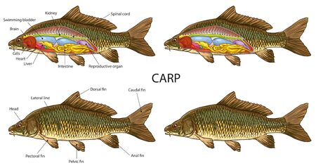 Carp fish anatomy