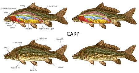 Carp fish anatomy