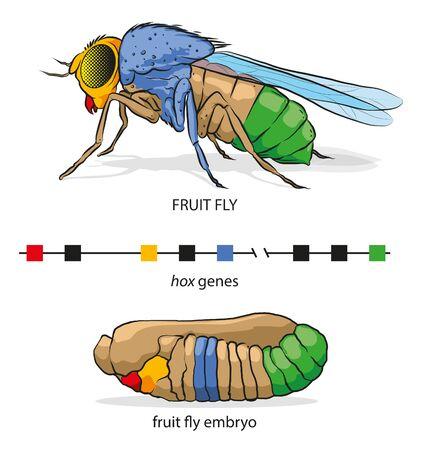 Ilustración de los genes Hox en la mosca de la fruta (posición de la parte del cuerpo).