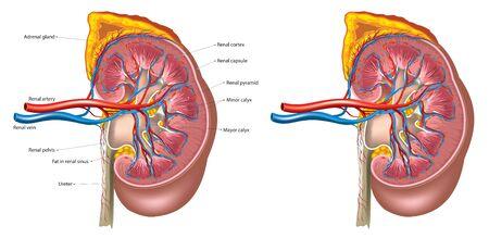 Anatomía del riñón Ilustración de vector