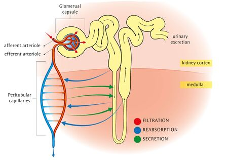 Schematic diagram of the nephron relevant circulation and the three methods of altering the filtrate.