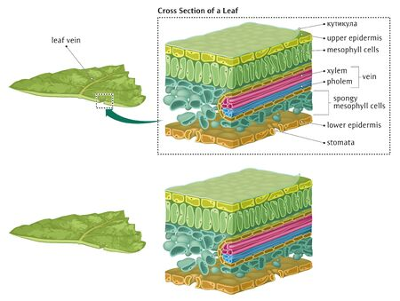 Cross Section of a Leaf Stock Illustratie