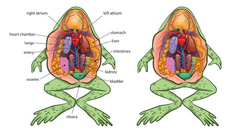Illustration of basic frog anatomy. Stock Illustratie