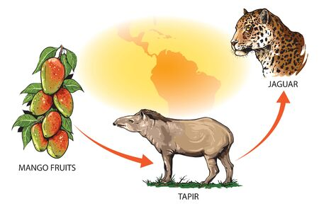 Example of food chain in South America: mango fruits - tapir - jaguar.