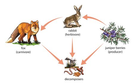 Example of food chain: juniper barries - rabbit - fox.