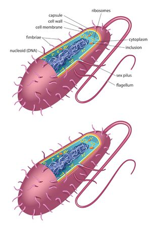 Illustration of typical bacterial cell - bacillus type Stock Illustratie