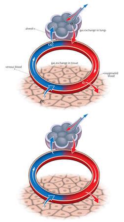 Schematic illustration of basic alveolus gas exchange. 向量圖像