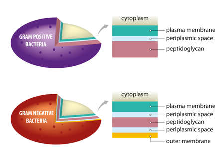 Schematic illustration of difference between bacterial cell wall - gram positive and gram negative.