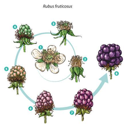 Vector illustration of Blackberry fruit development - Rubus fruticosus