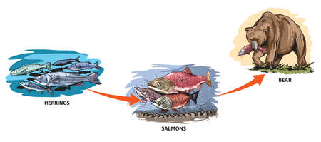 Illustrated example of food chain: herring - salmon - bear.