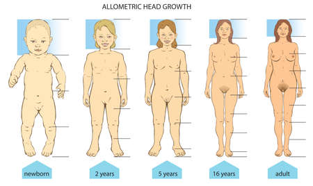 Allometric growth of a human proportions of body - from birth to adult. Illustration
