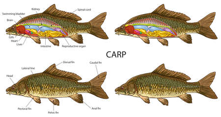 Carp fish basic anatomy illustration 向量圖像