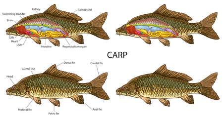 Carp fish basic anatomy illustration Illustration