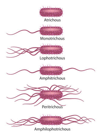 Schematic illustration of bacterial flagella types.
