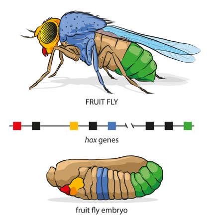 Illustration of Hox genes in fruit fly (body part position). Иллюстрация
