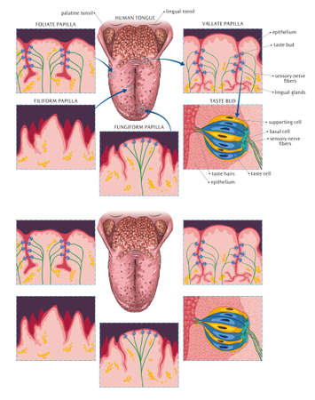 Illustration of dorsal surface of human tongue and its papillae.