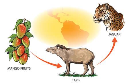 Example of food chain in South America: mango fruits - tapir - jaguar. Ilustración de vector