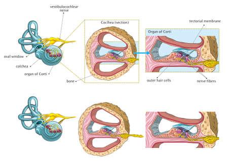 Internal ear basic anatomy