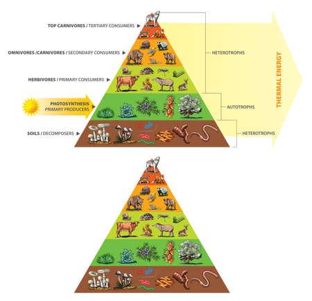 Illustration of food chain - energy pyramid
