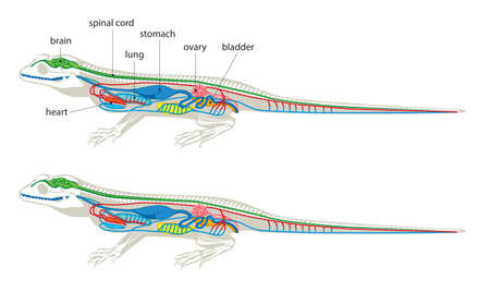 Illustration of simplified and schematic anatomy of lizard.
