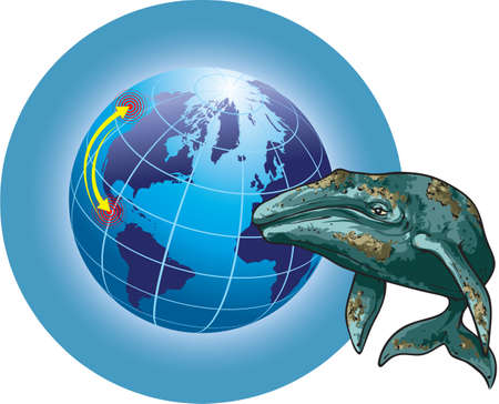 Vector illustration shows gray whale migration.