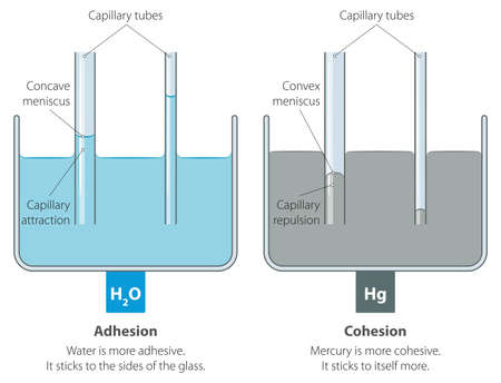 Vector illustration of capillary action of water compared to mercury.
