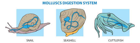 Molluscs digestion system - snail, clam (seashell) and cuttlefish.