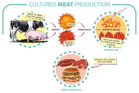 Vector illustration. Cultured lab-grown meat infographics. Synthetic in vitro food concept. Biotechnological process with muscle stem cells, beef and tissue in laboratory.