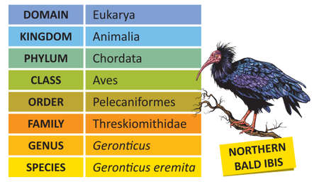 The hierarchy of biological classification's major taxonomic ranks. Classification of organisms into systemic categories, Northern Bald Ibis example. Illustration