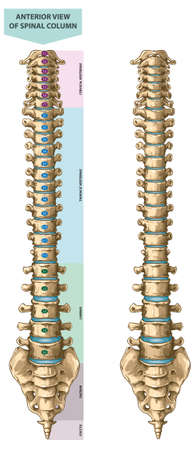 Illustration shows human spine anatomy - anterior view. Suitable for medical and orthopedic posters and infographics.