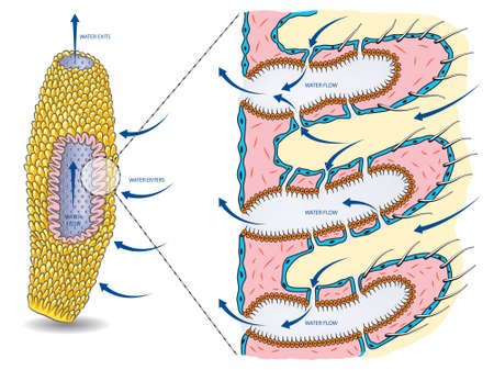 Vector illustration of the basic anatomy of sea sponge with water circulation. Illustration
