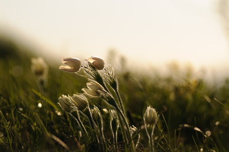 Pasque Flower blooming on spring rock at the sunset in Altai mountains Stock Photo