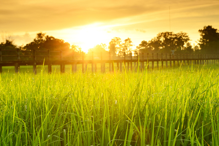 bridge in nature: Bridge over the cornfield. Cornfield sunset of Thailand Golden rice fields in the countryside of Thailand Stock Photo