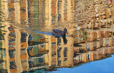 Duck in colorated water of Darsena, Milan. Stock Photo