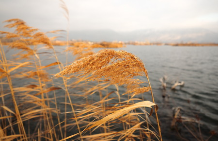 Zoom on reeds, Iseo lake, Lombardy, Italy.