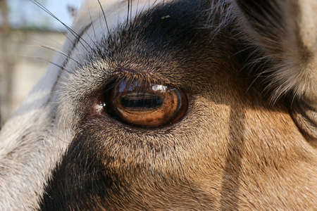 Eye of donkey closeup Archivio Fotografico