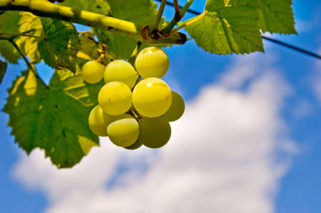 White grape fruits Stock Photo