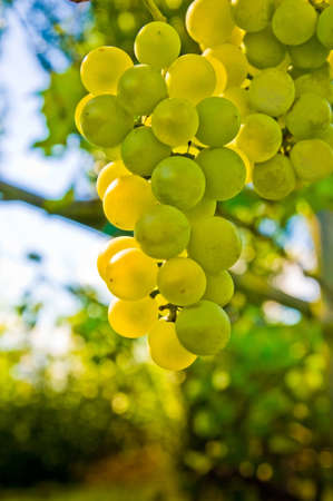 White grape fruit Stock Photo
