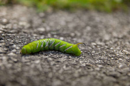 pupation: Horn worm Stock Photo