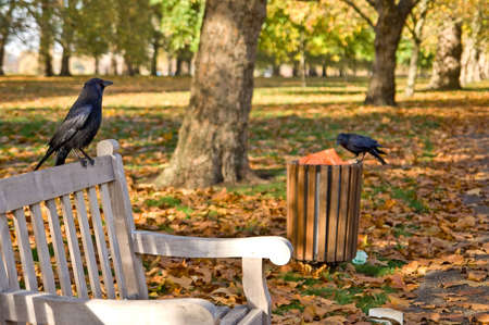 Black crows in the middle of hyde park. Stock Photo