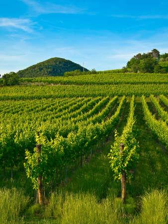 grape, grapevine plants in a beautiful vineyard
